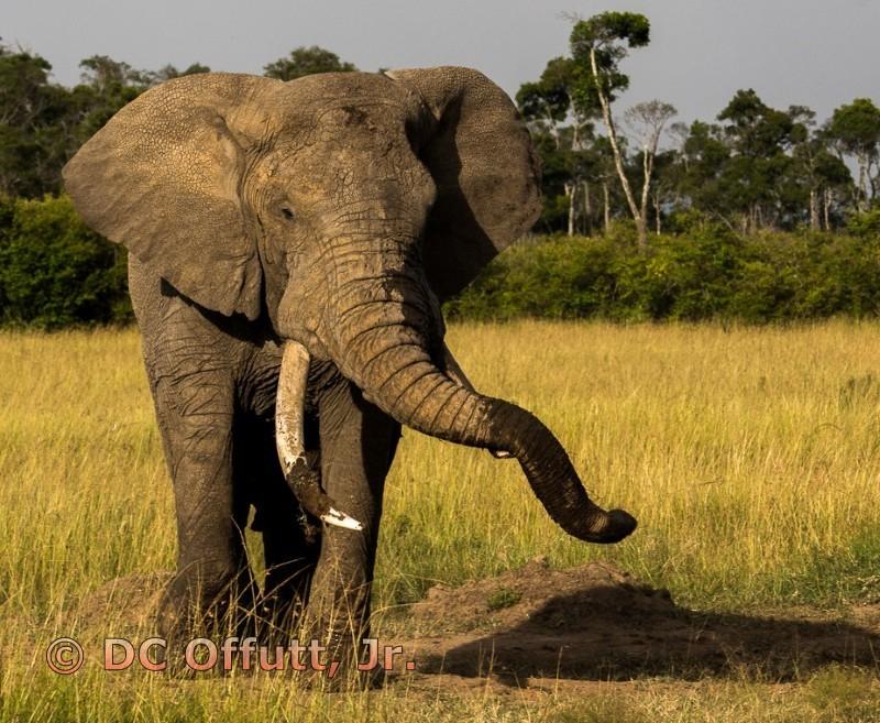 Kenyan Bull Elephant