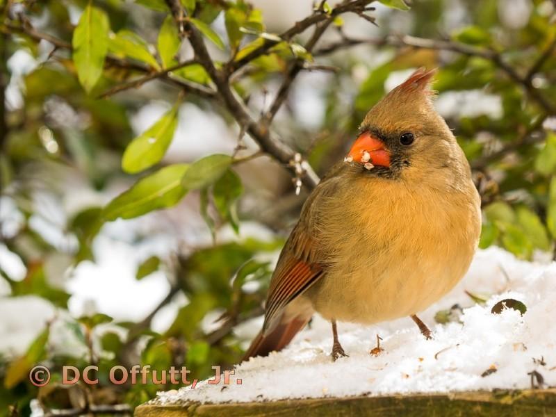 Winter Female Cardinal