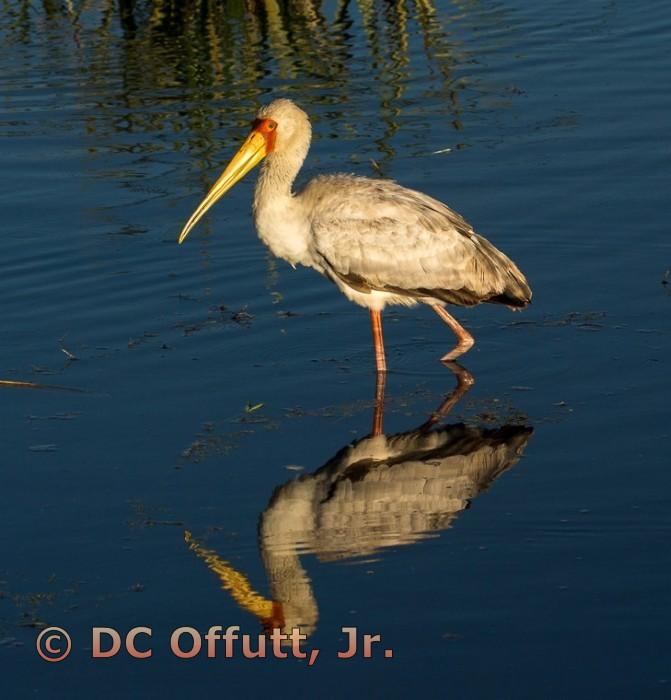 Lake Nakuru Pelican