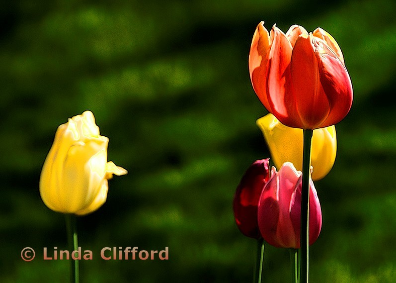 Maine Tulips