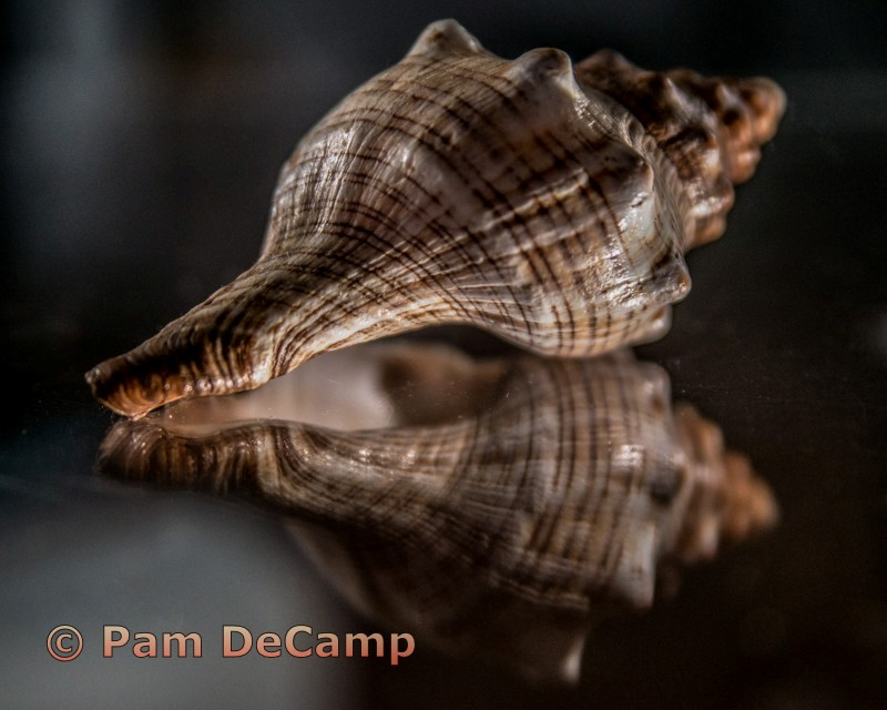 Sea Shell Reflection