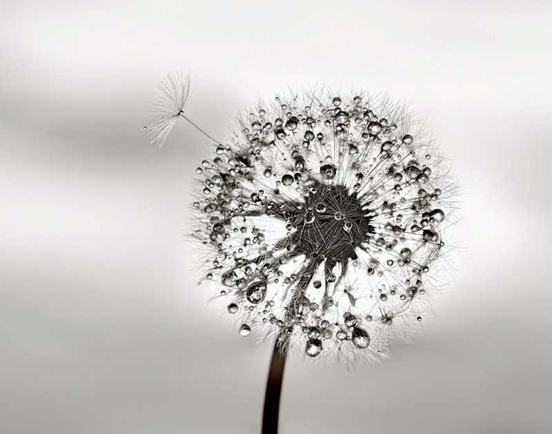 Jeweled Dandelion