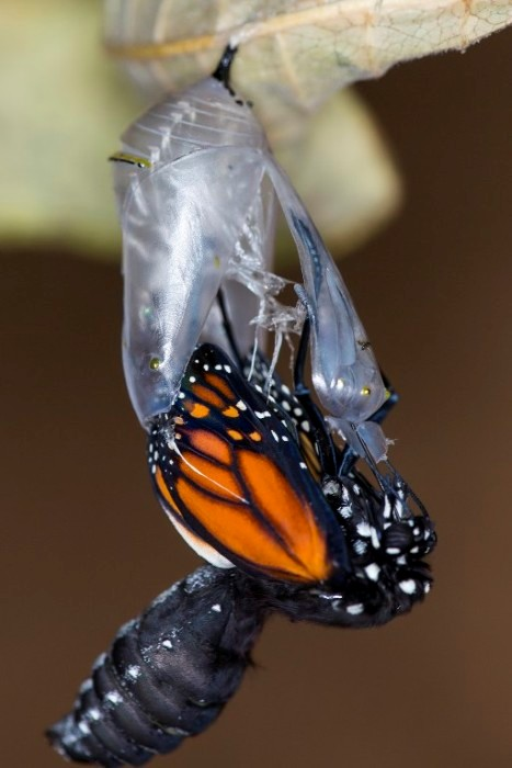Monarch Emergence