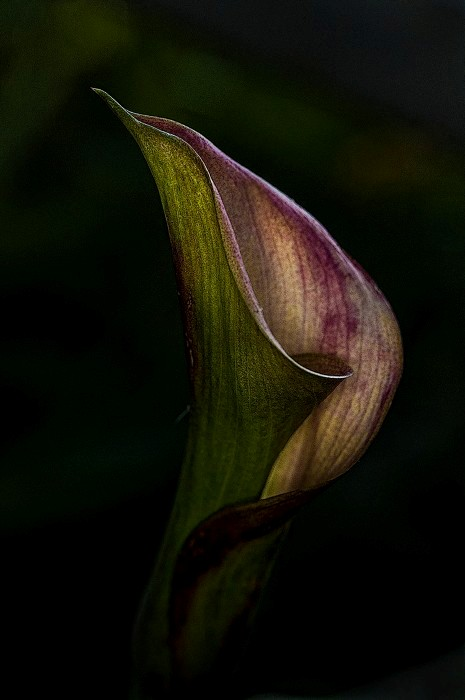 The Grace of the Calla Lily