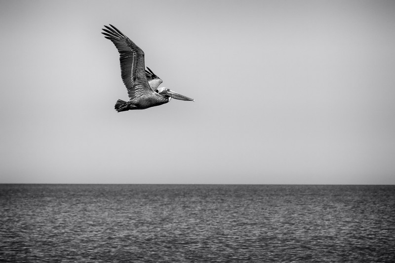 Pelican in Pursuit