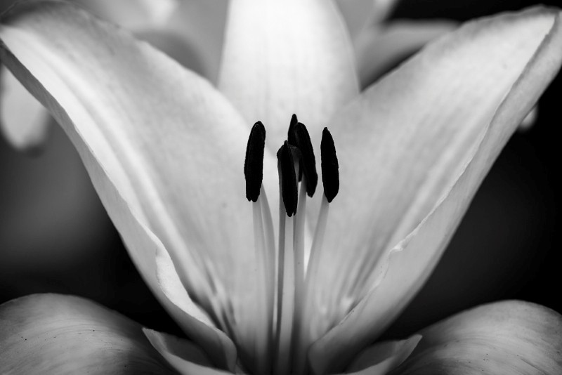 Lily in Soft Light