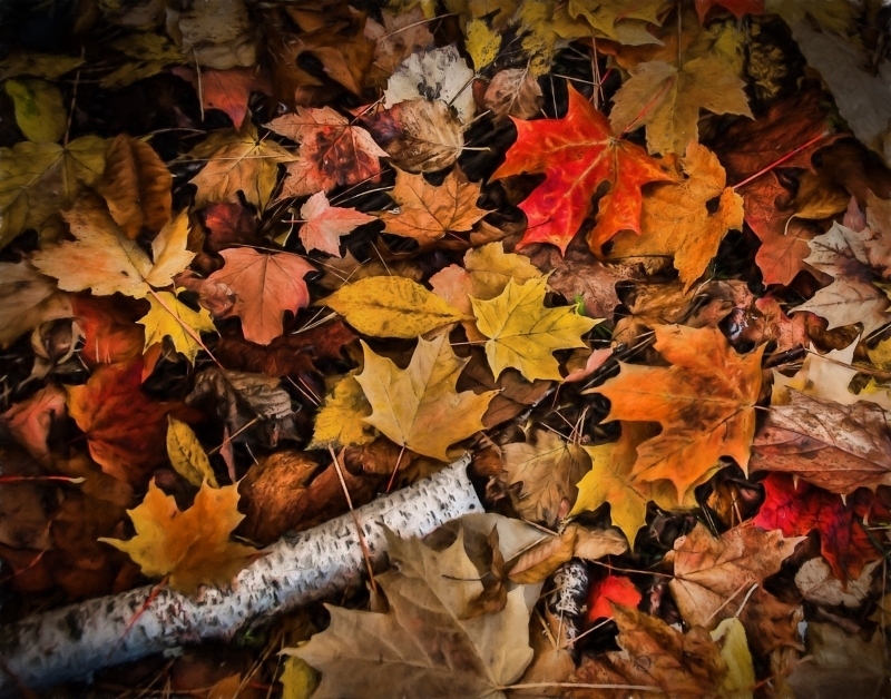 Autumn Leaves and Birch