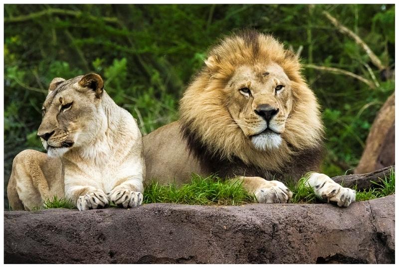 Ma & Pa Lion