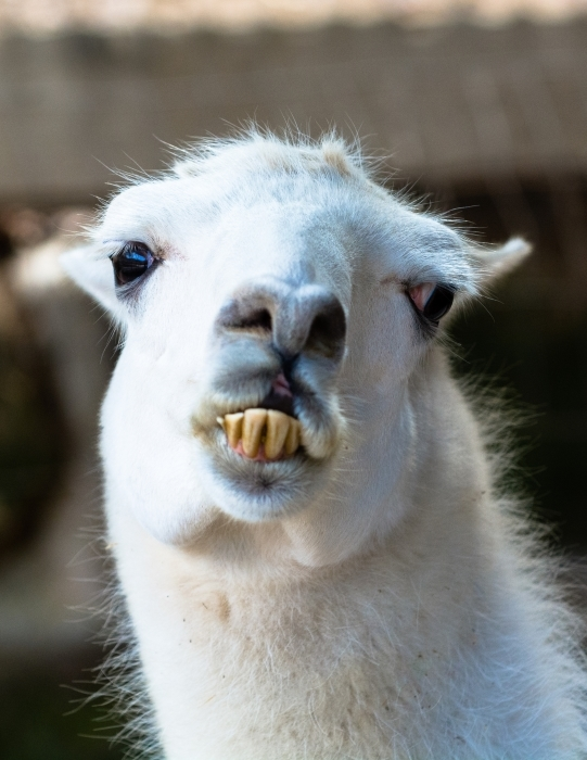 LLama looking at you