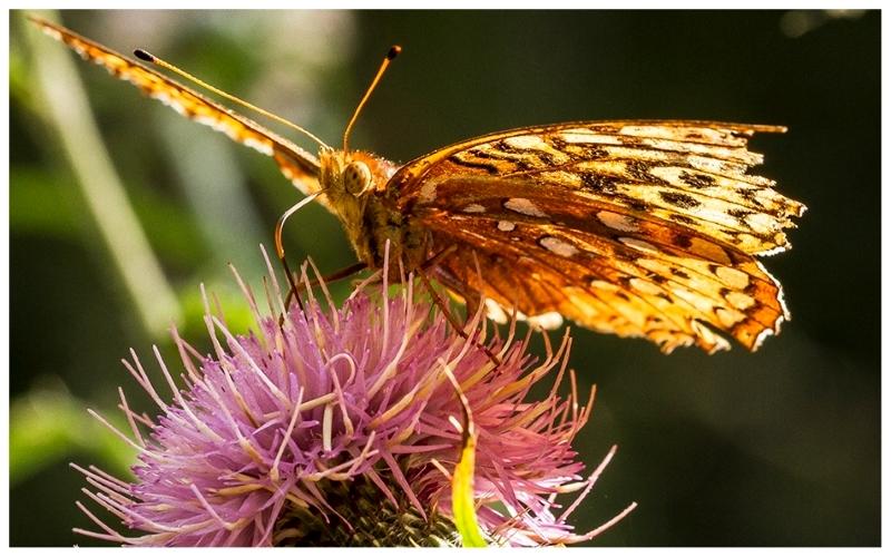 Free Range Butterfly