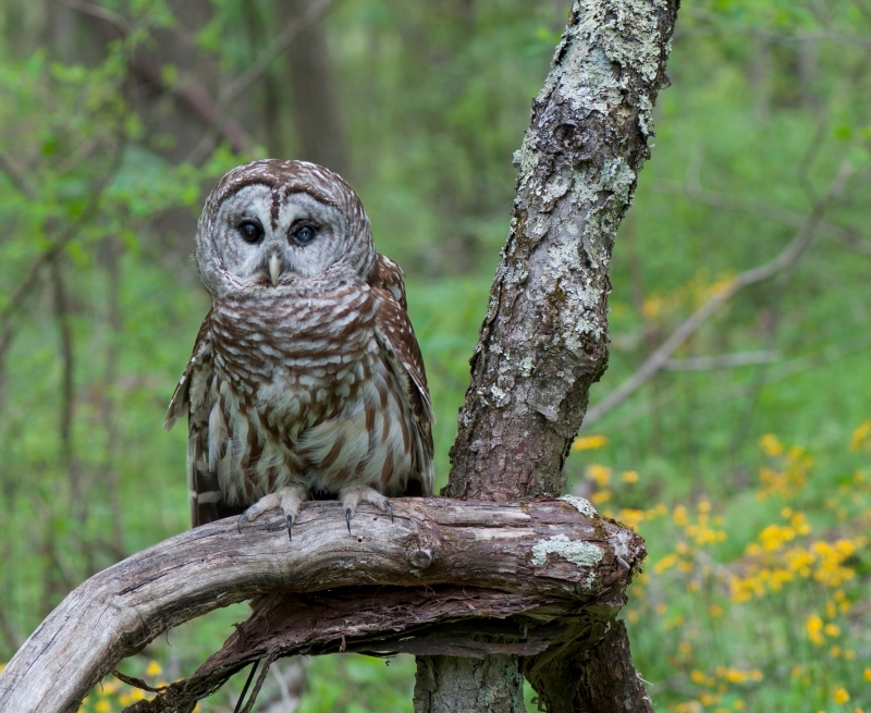 Lonesome Owl