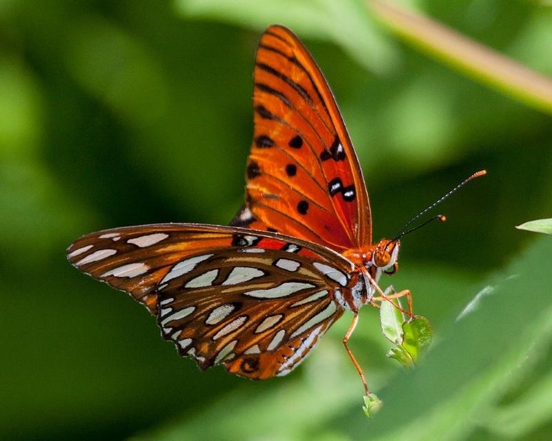 Venice Butterfly