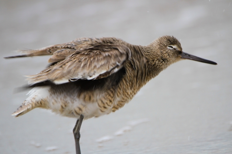 Willet Shakes