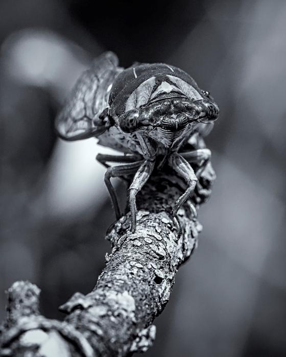 Cicada Up Close