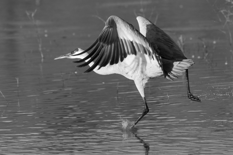 Dance of the Sand Cranes