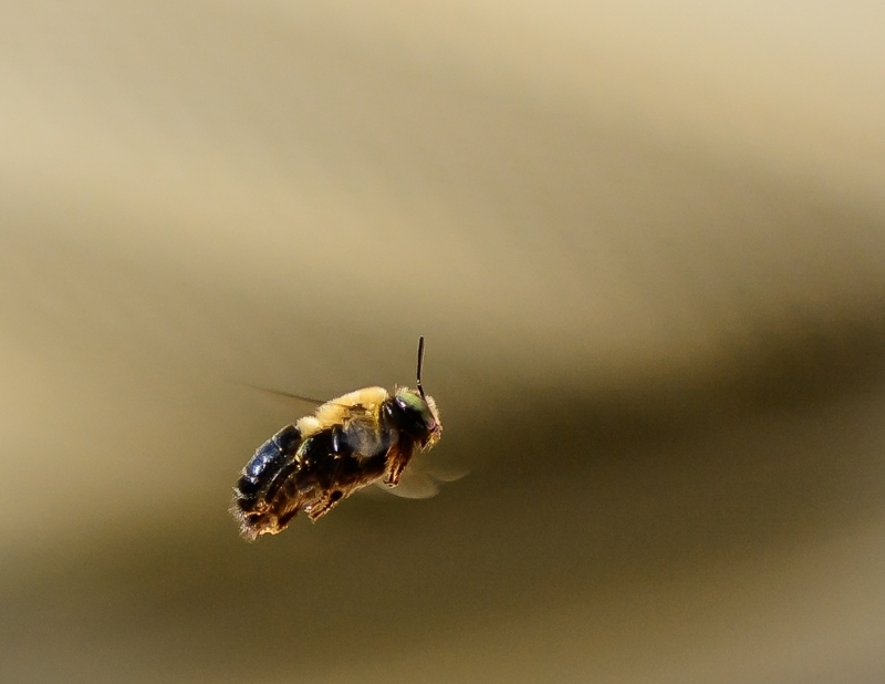 Flight of a Bee
