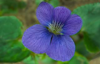 thumbnail_Wild Violet_0062
