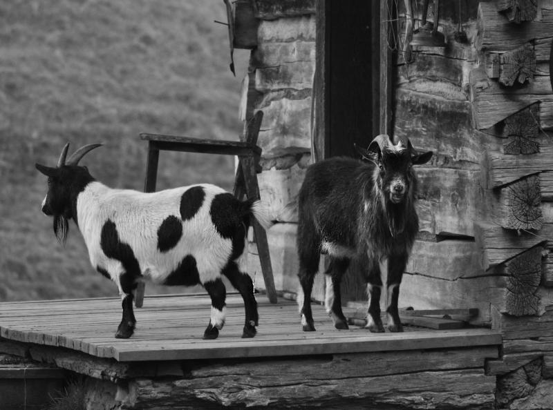 Goat-Tee