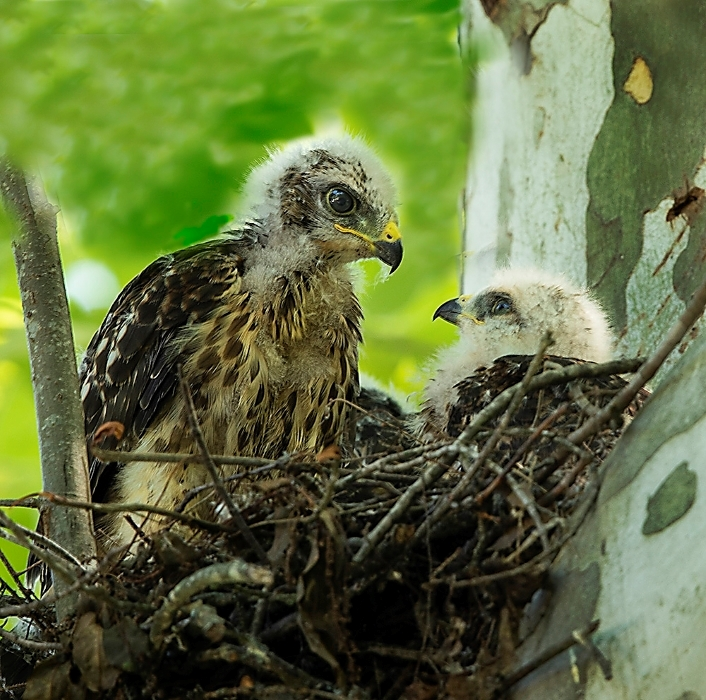 Hawks5