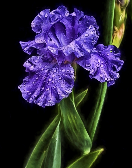O'Keefe Blue Iris