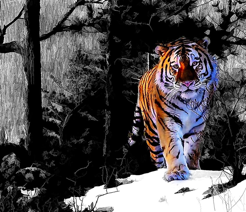 DDD Siberian Tiger