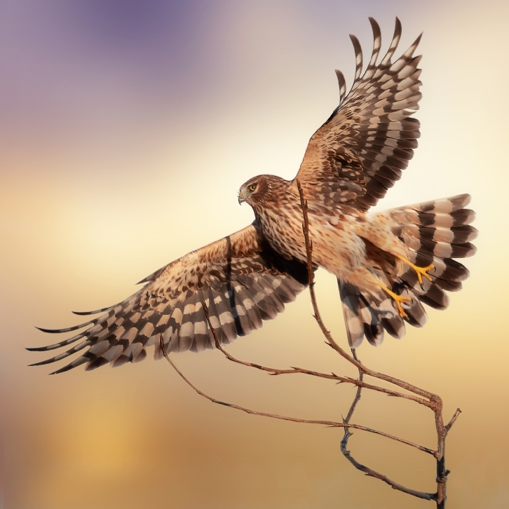 Northern Harrier Sunrise