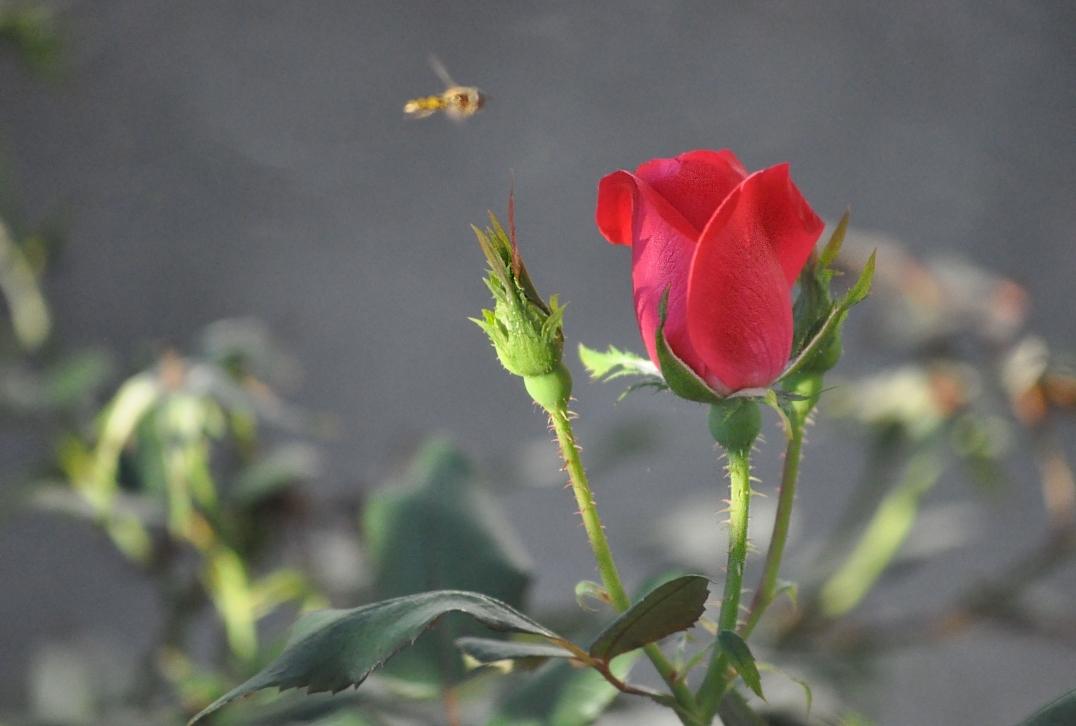 Rose Sniffing