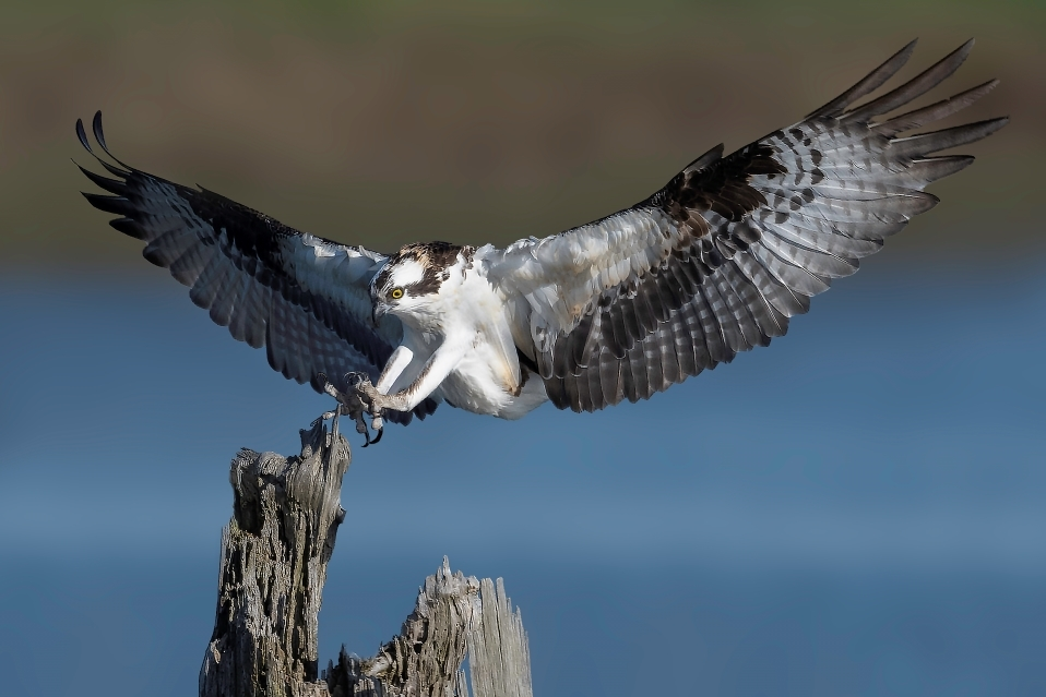 Full Spread Osprey