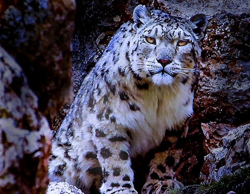 DDD Snow Leopard