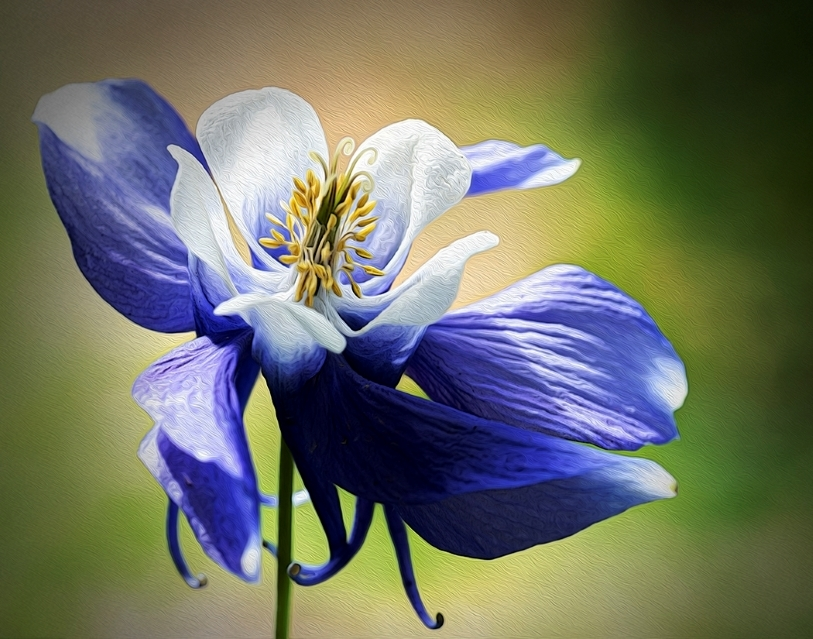 Purple Columbine in the Wind