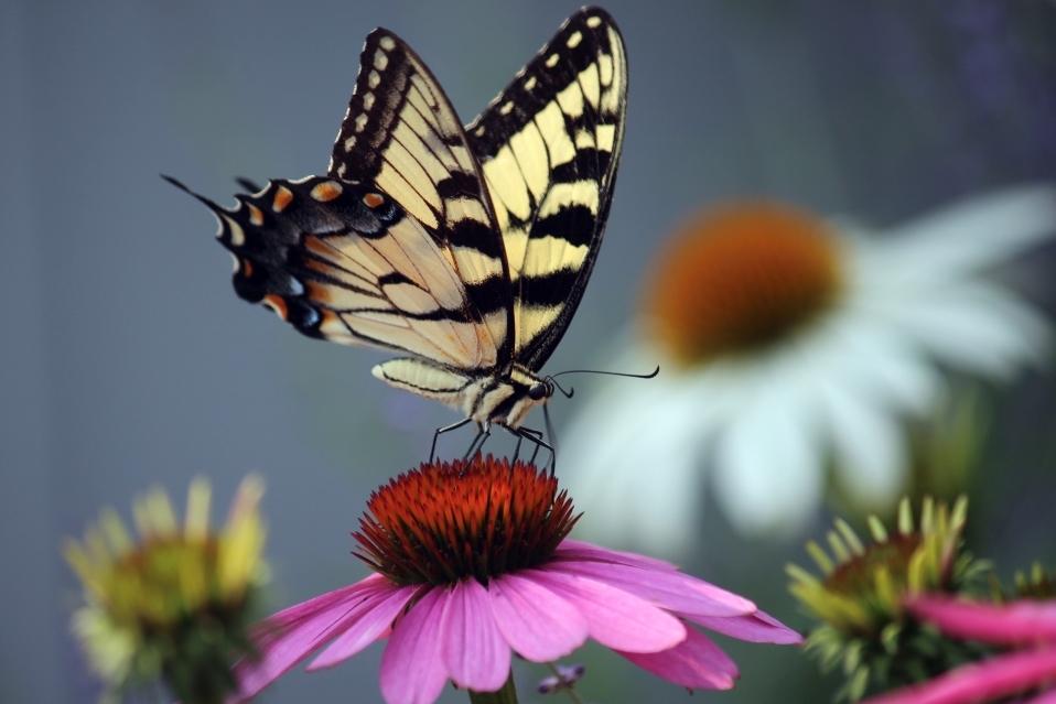 Swallowtail Feeding