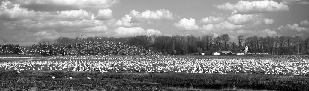 Church Snow Geese
