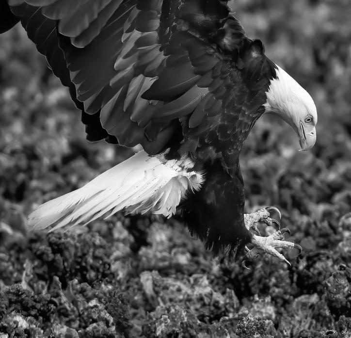 Eagle Pounce