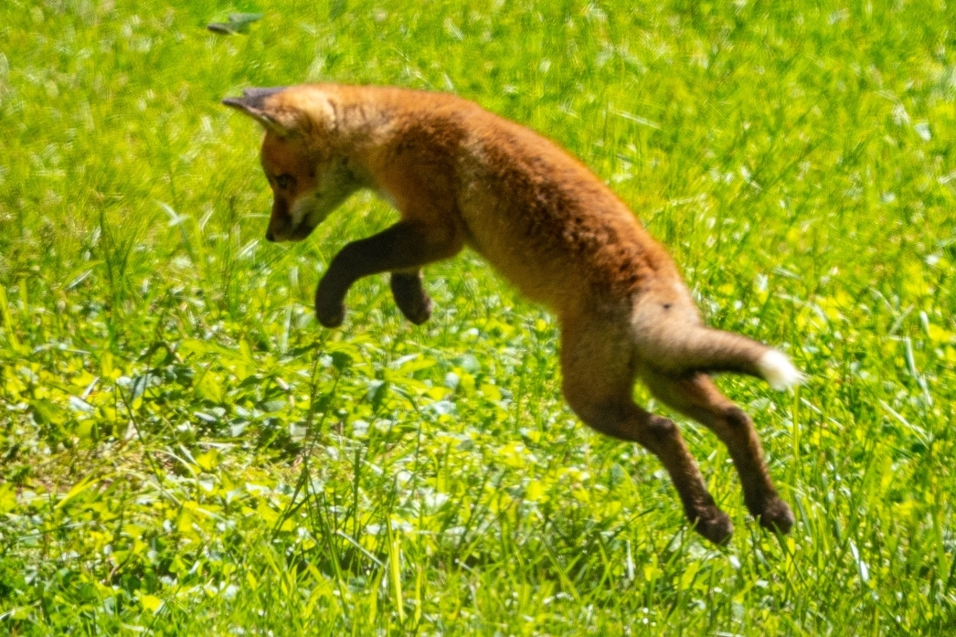 Fox Kit Jumping